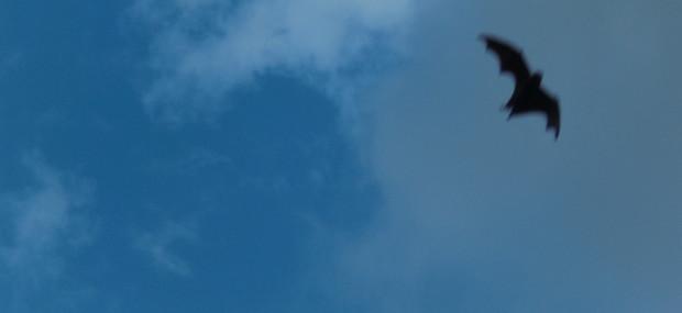 Bats in Hyde Park
